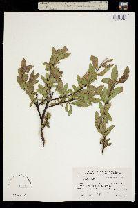 Salix myrtillifolia image