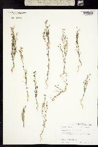Chaenorhinum minus image