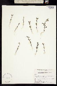 Image of Chaenorhinum minus