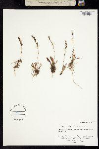 Chionophila tweedyi image