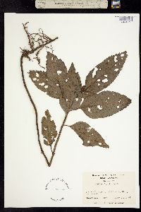 Image of Chelone lyonii