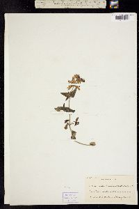 Collinsia bartsiifolia image