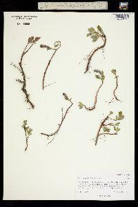 Salix ovalifolia image