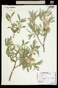 Salix orestera image