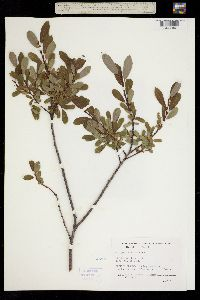Image of Salix pedicellaris
