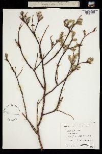 Salix pulchra image