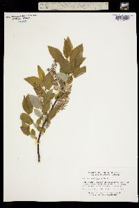 Image of Salix pyrifolia