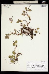 Image of Salix reticulata