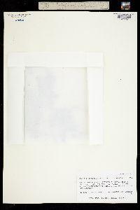 Image of Salix rotundifolia