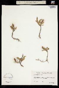 Image of Salix setchelliana