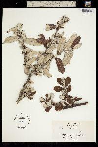 Salix sitchensis image