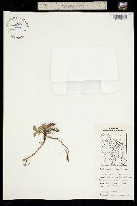 Image of Salix stolonifera