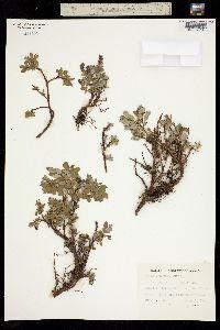 Image of Salix uva-ursi