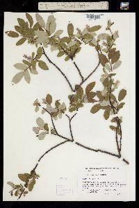 Image of Salix vestita