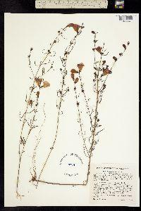 Image of Agalinis purpurea