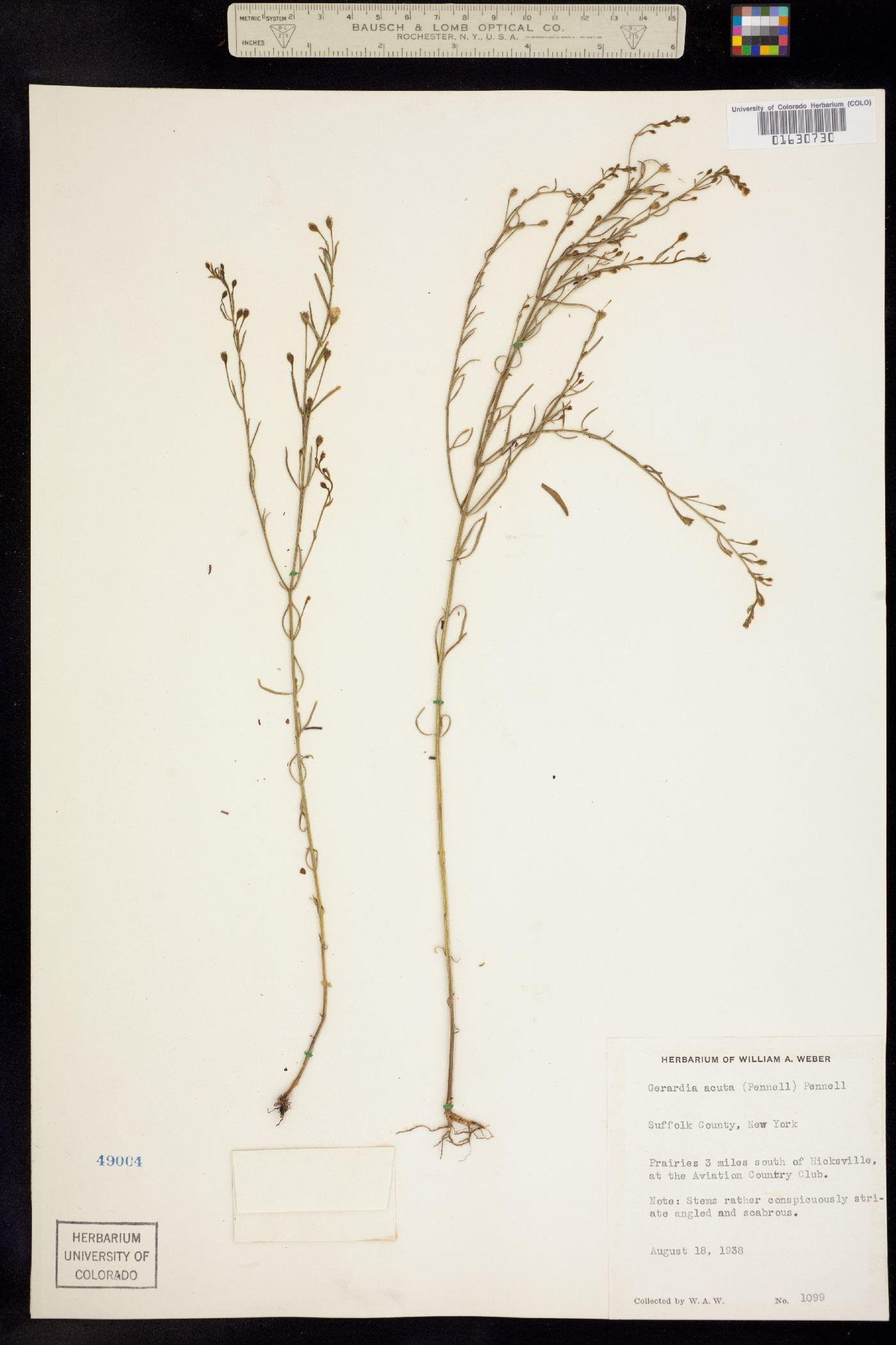 Agalinis decemloba image