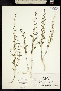 Image of Antirrhinum breweri