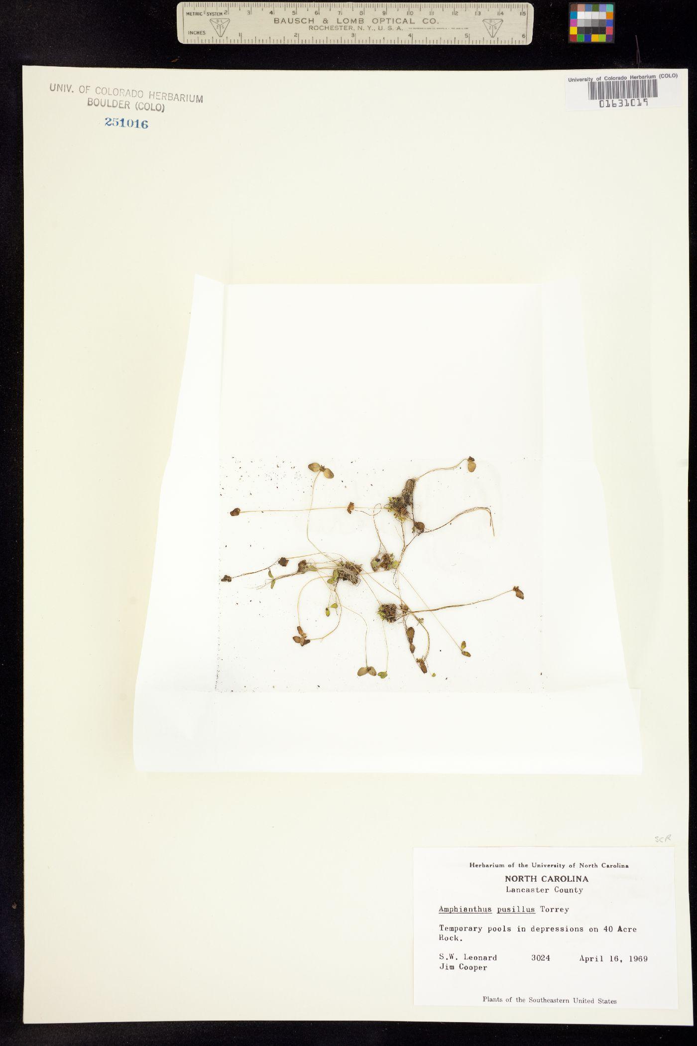 Gratiola amphiantha image