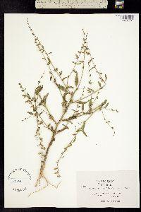 Image of Antirrhinum vexillocalyculatum