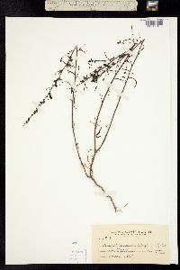 Image of Sairocarpus vexillocalyculatus