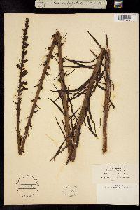 Image of Sairocarpus virga