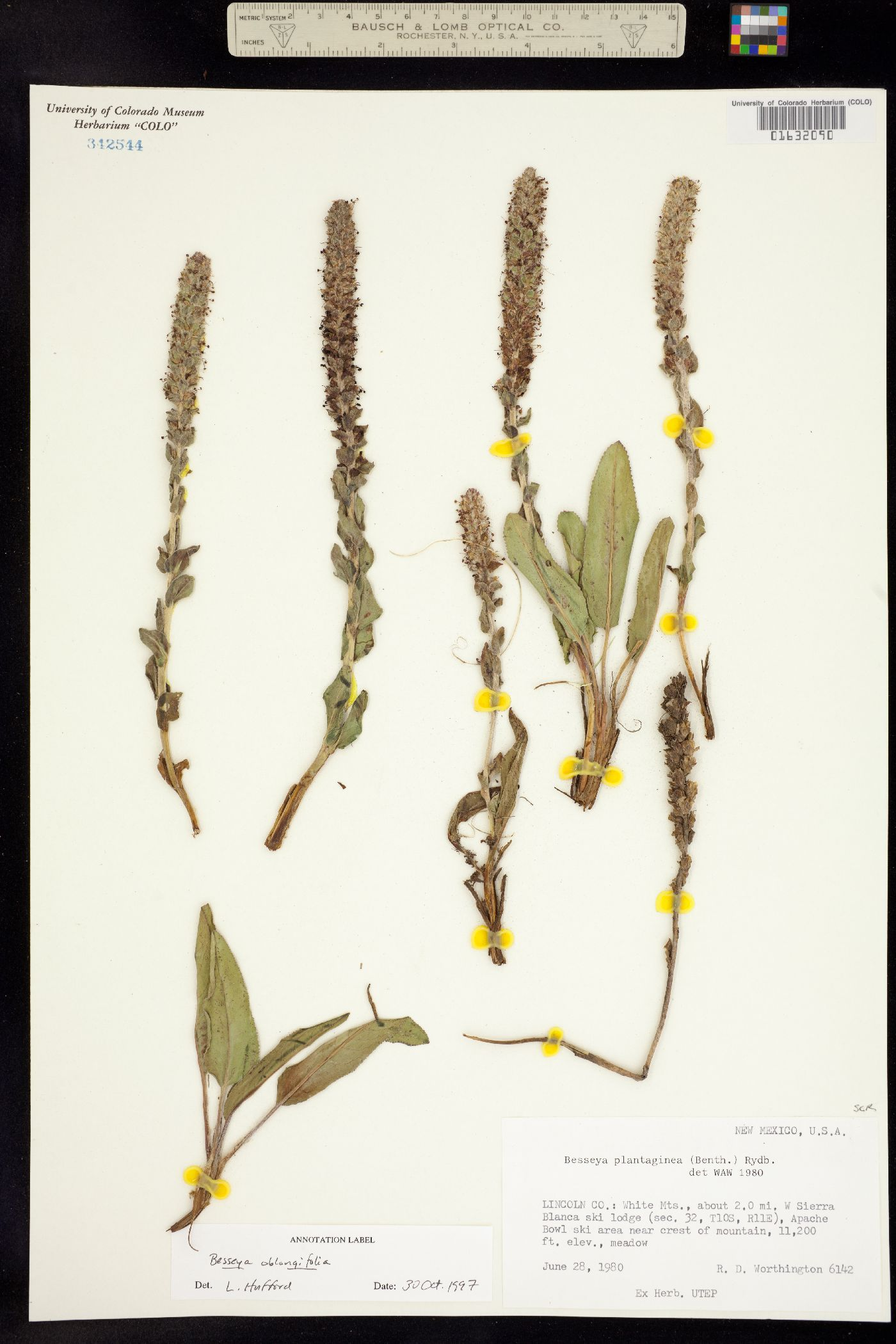 Besseya oblongifolia image