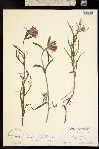 Image of Castilleja affinis