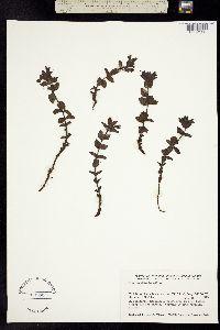 Bartsia alpina image