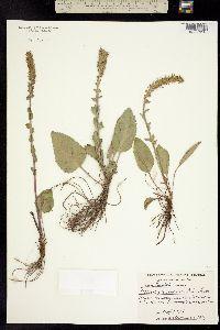 Besseya wyomingensis image
