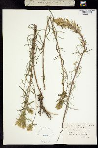 Image of Castilleja cervina