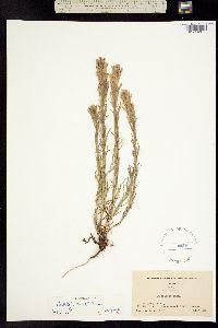 Castilleja cusickii image