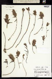 Castilleja elegans image