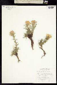 Castilleja flavescens image