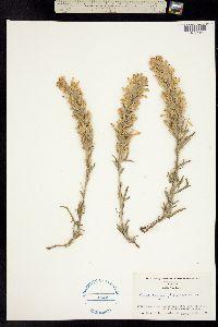 Image of Castilleja flavescens