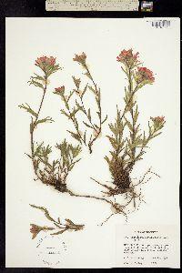Image of Castilleja hispida
