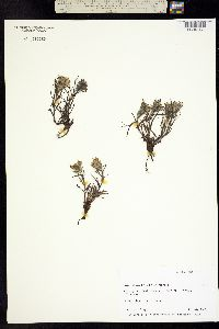 Image of Castilleja hyperborea