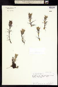 Castilleja hyperborea image
