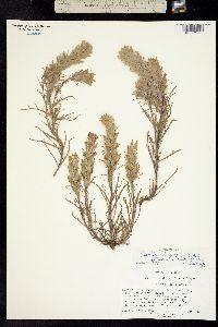Image of Castilleja longispica