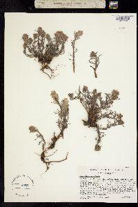 Castilleja nana image