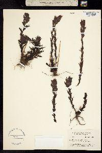 Castilleja parviflora image