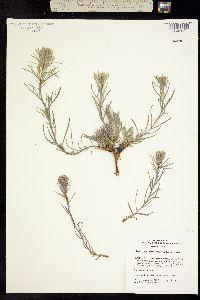 Image of Castilleja pallescens