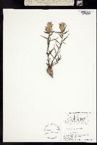 Castilleja pallida image