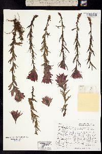 Image of Castilleja parviflora