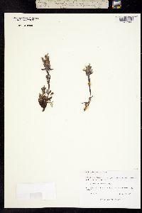 Castilleja pulchella image