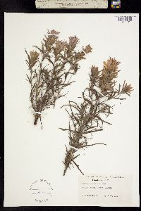 Image of Castilleja purpurea