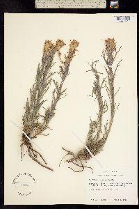 Castilleja purpurea image