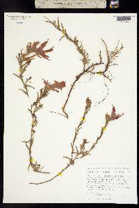 Castilleja rhizomata image