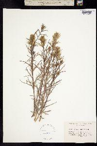 Image of Castilleja rustica