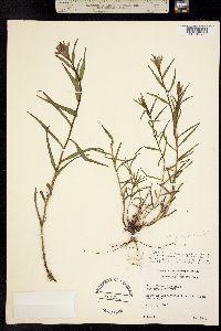 Image of Castilleja septentrionalis