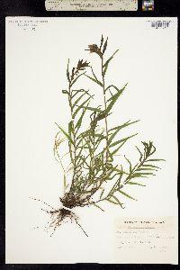 Castilleja septentrionalis image